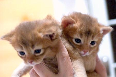 ソマリ レッドの子猫たち(Luna)