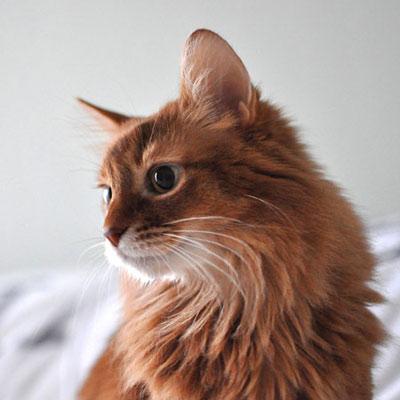 血液型A型のソマリ猫